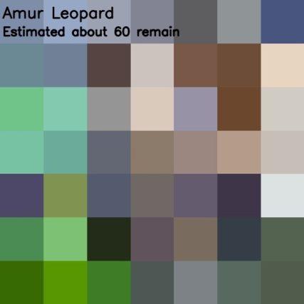 Amur Leopard, 60 esemplari rimasti